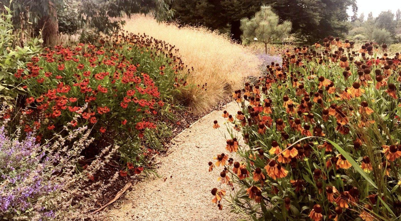 Helenium, Faith Garden